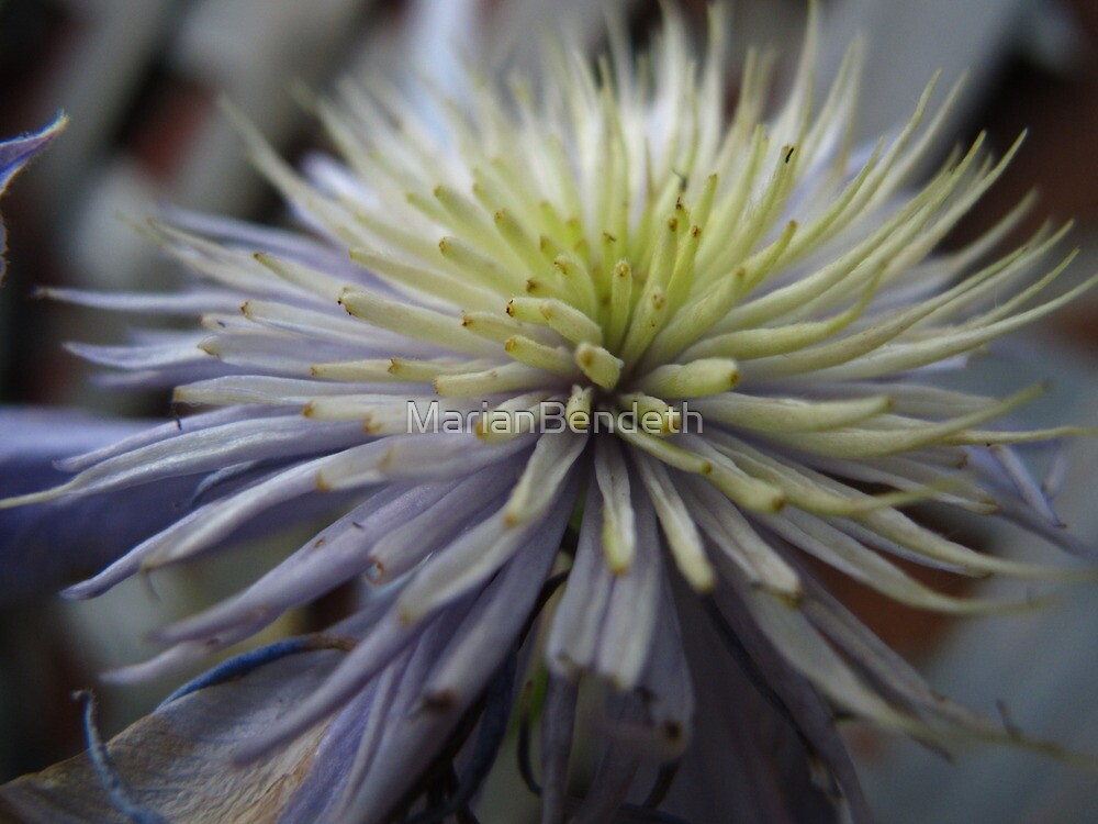 Clematis spikes by MarianBendeth