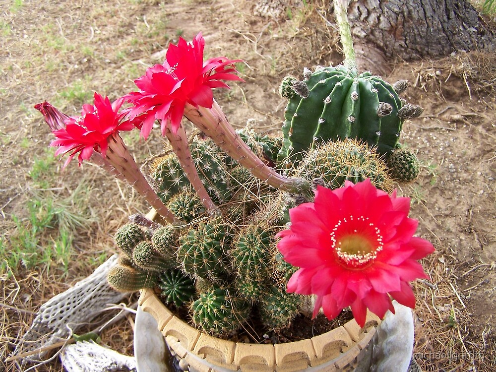 cactus flower by michael griffith