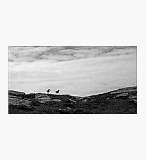 Oystercatchers, Barra Photographic Print
