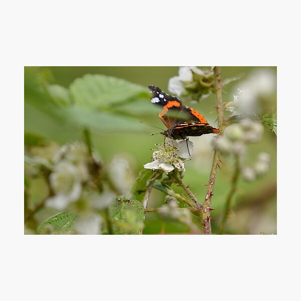 Red Admiral Butterfly on a Blackberry Flower Photographic Print
