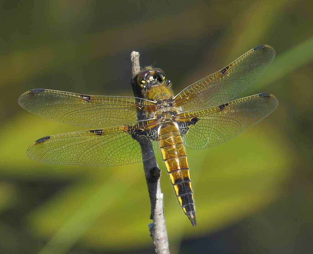 gold dragonfly by Alex Call