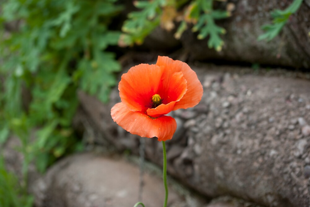 Poppy in the Trench by Kevin Cartwright
