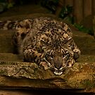Snow Leopard v2, Paradise Wildlife Park  by JMChown