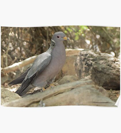 Band-tailed Pigeon Poster