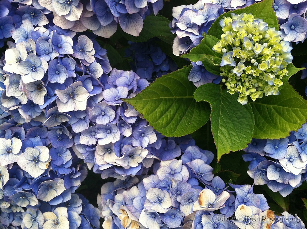 Hydrangea becomes you by Julie Van Tosh Photography