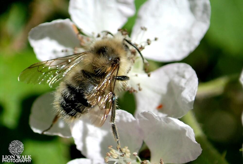Beautiful Bee, white flower by Jalil al-Hamza