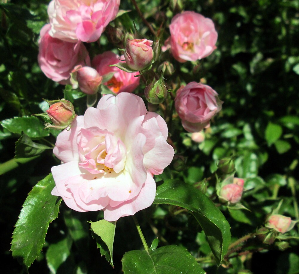 my lovely pink roses just coming out in full glory by margaret hanks