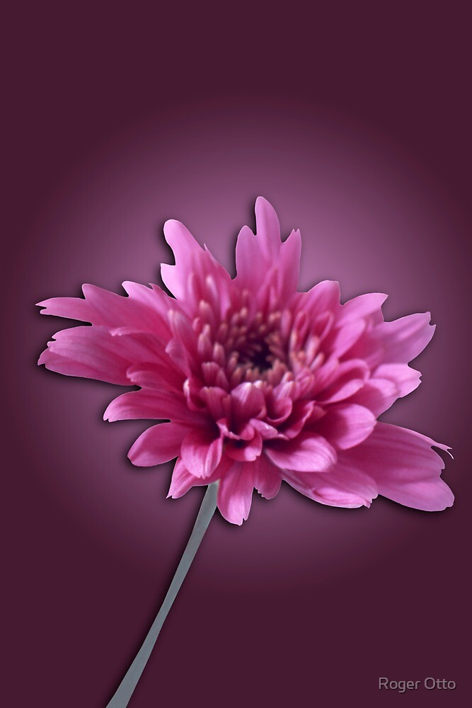 Deep Pink Daisy by Roger Otto