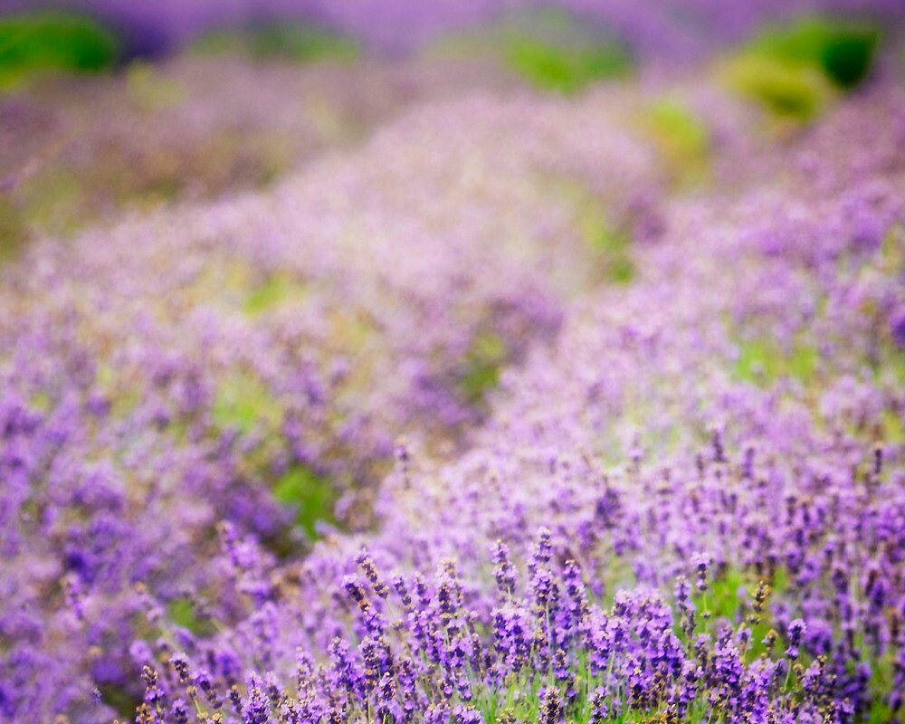 Lavender Dreams by vicjauron