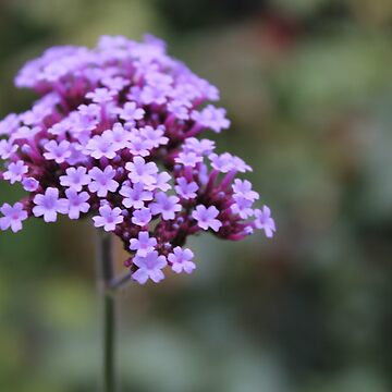 Purple Flower by nauticalpancake