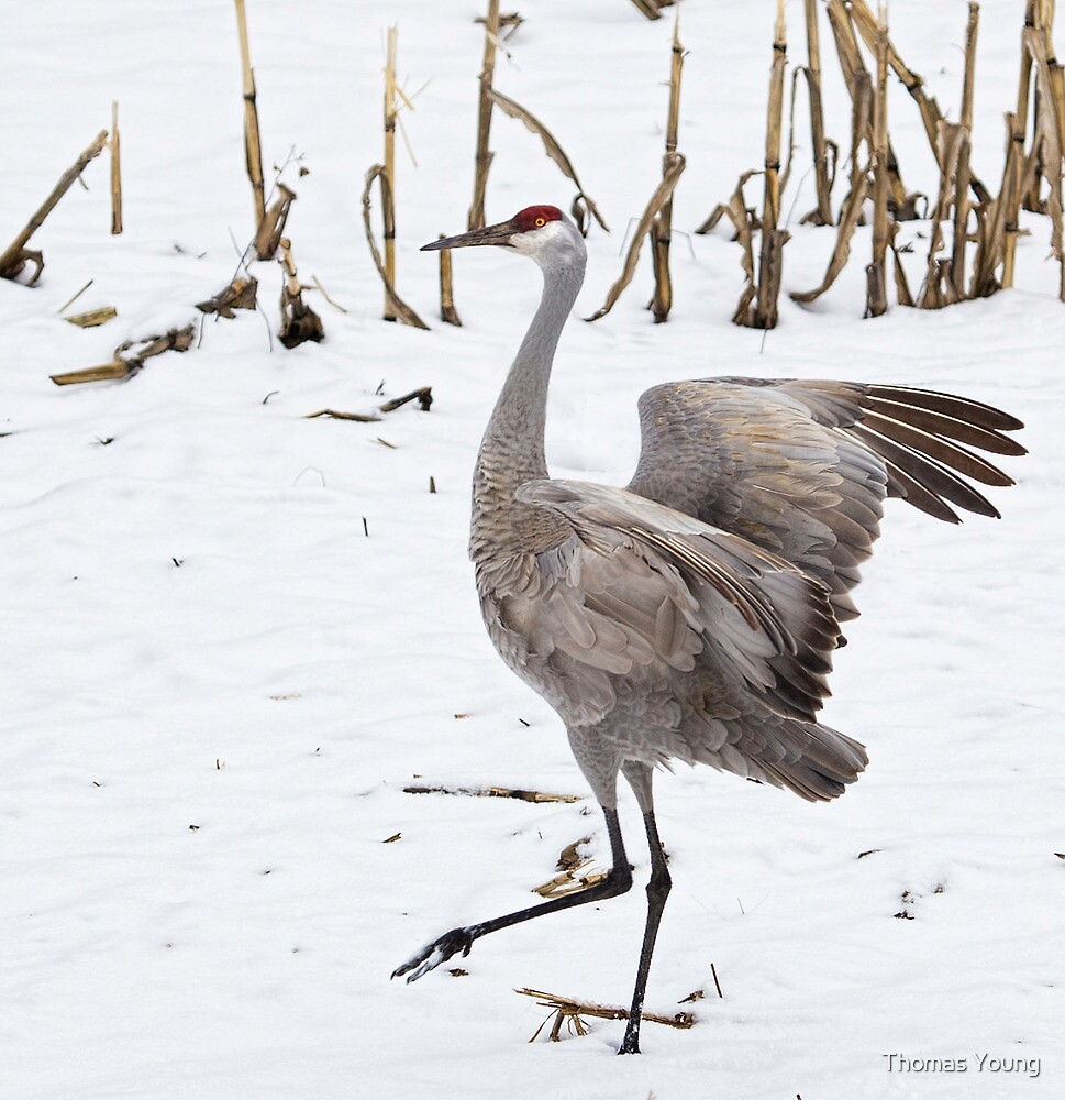 Dancing Sandhill Crane by Thomas Young
