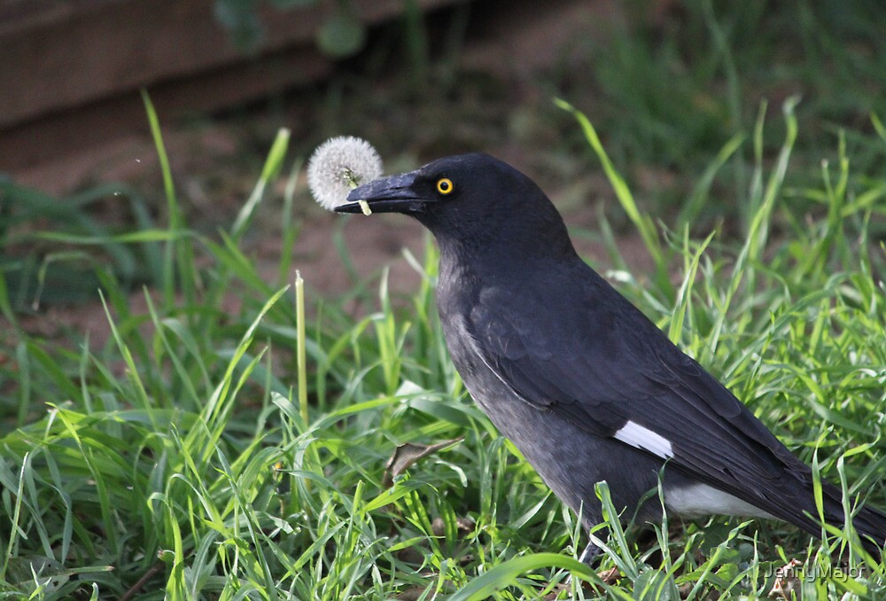 The Currawong and the Dandelion by JennyMajor