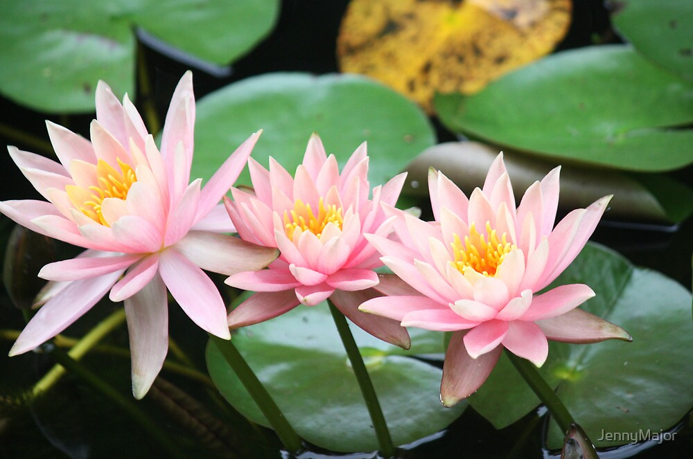 Water-lilies by JennyMajor