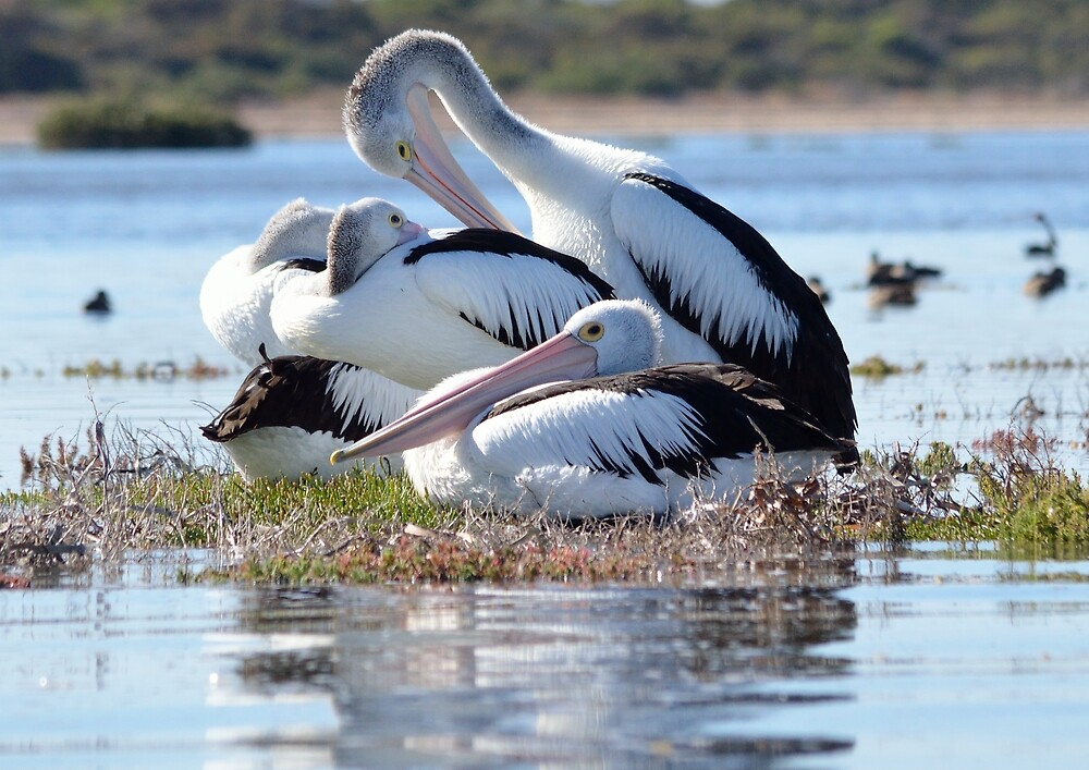 Pelican paradise. by Frank Smith
