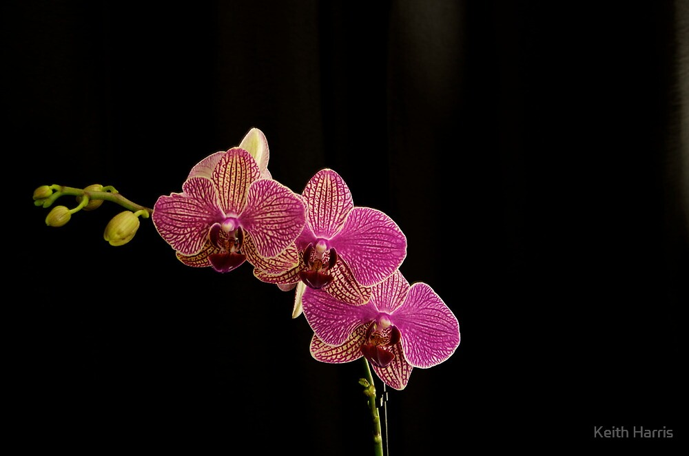 Orchid on Black by Keith Harris