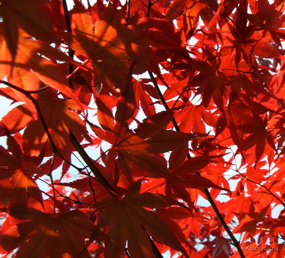 Acer by Keith Harris