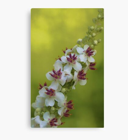 Chaix Mullein 'Album' Canvas Print