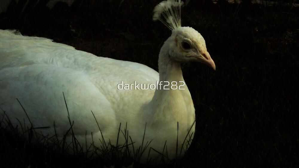 White Peafowl 2 by darkwolf282