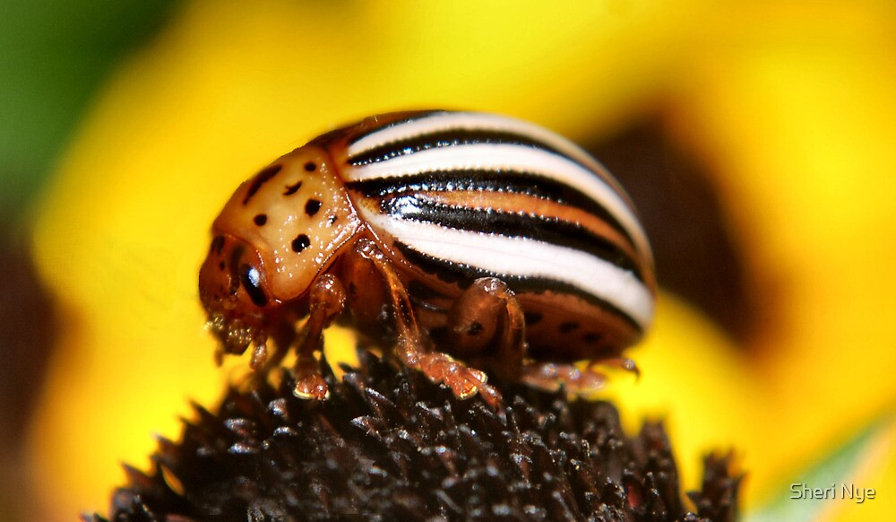 Colorado Potato Beetle by Sheri Nye
