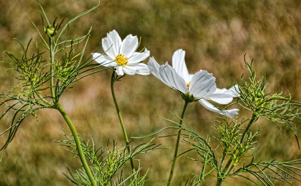 Cosmos In The Garden by lynn carter