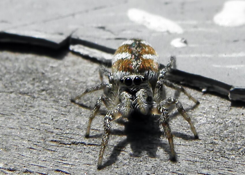 A Tiny Zebra Jumping Spider by Linda Gleisser
