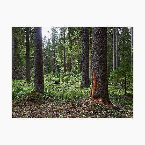 Black woodpeckers forest Photographic Print