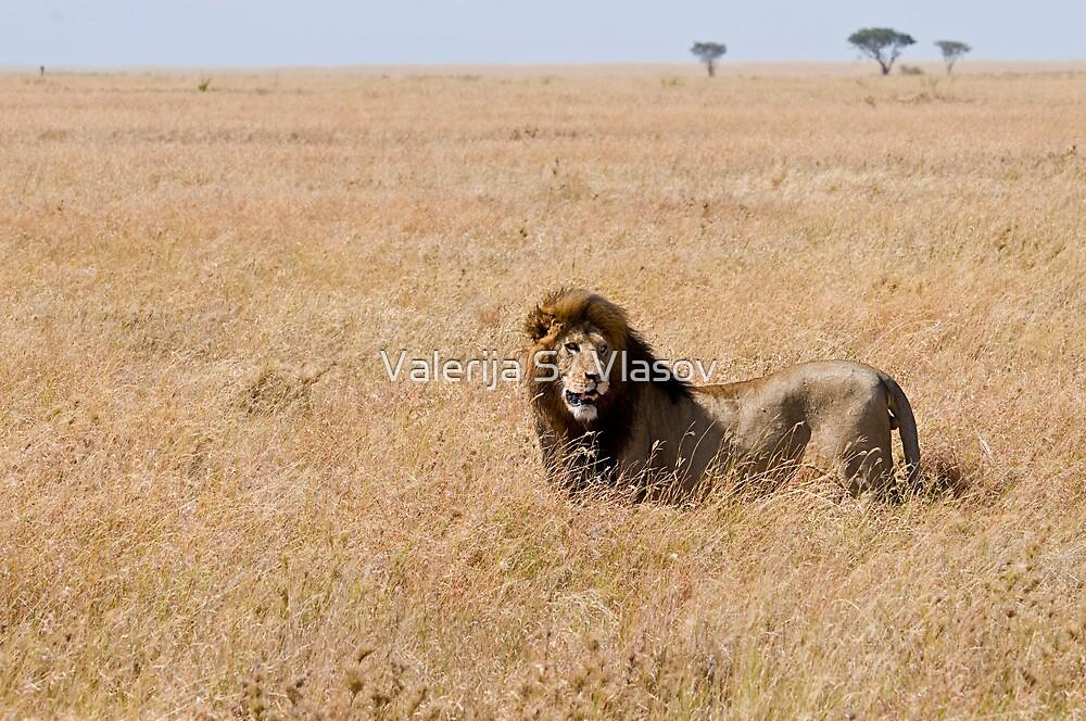 Lion in the grass lands by Valerija S.  Vlasov