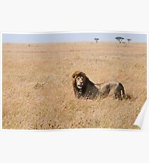 Lion in the grass lands Poster