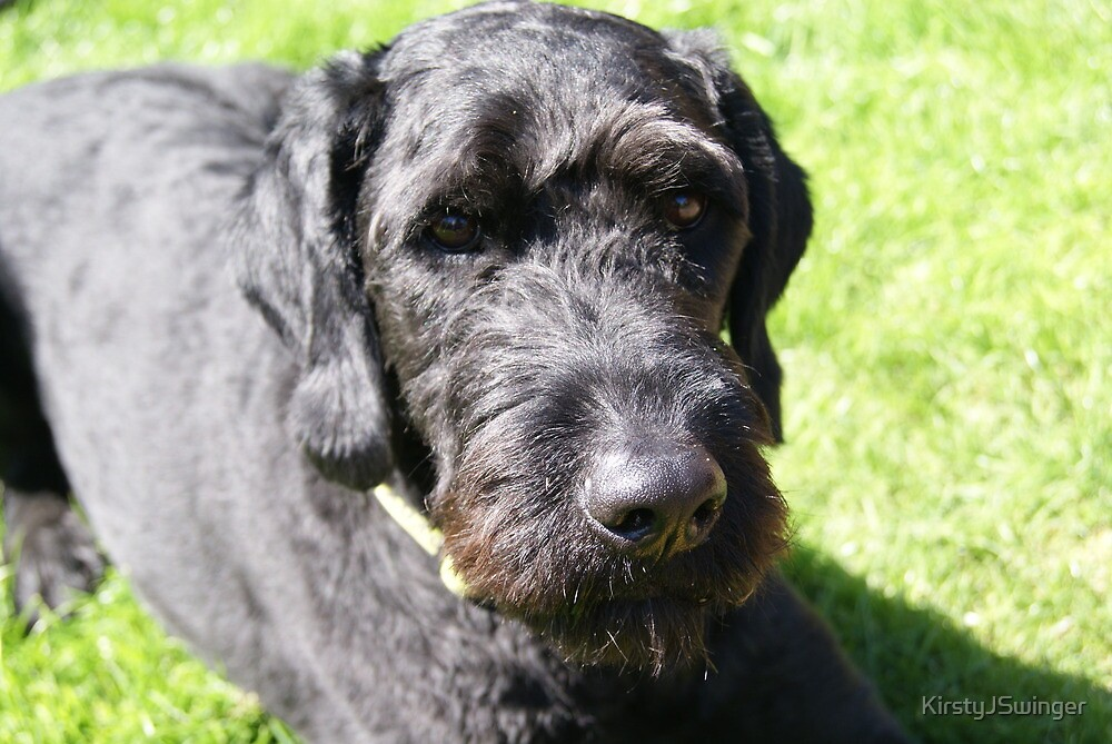 Labradoodle at rest by KirstyJSwinger