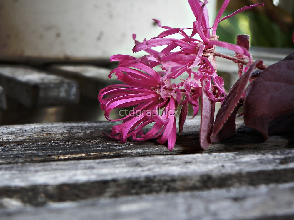 Hot pink flower by ctdgraphicx