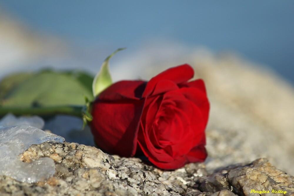 Rose 3 by Kelley-D