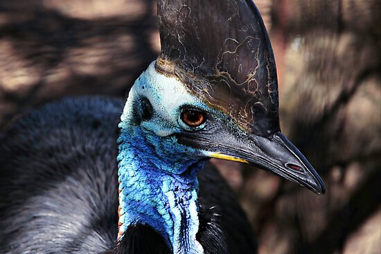 Cassowary Blue by Stephen Mitchell