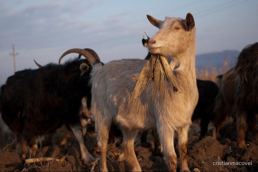 Goat I by cristianmacovei