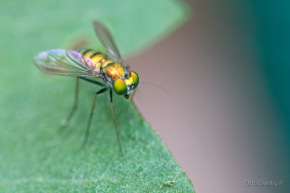 Condylostlid Long-legged Fly by Otto Danby II