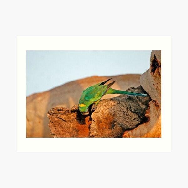 Port Lincoln Parrot Art Print