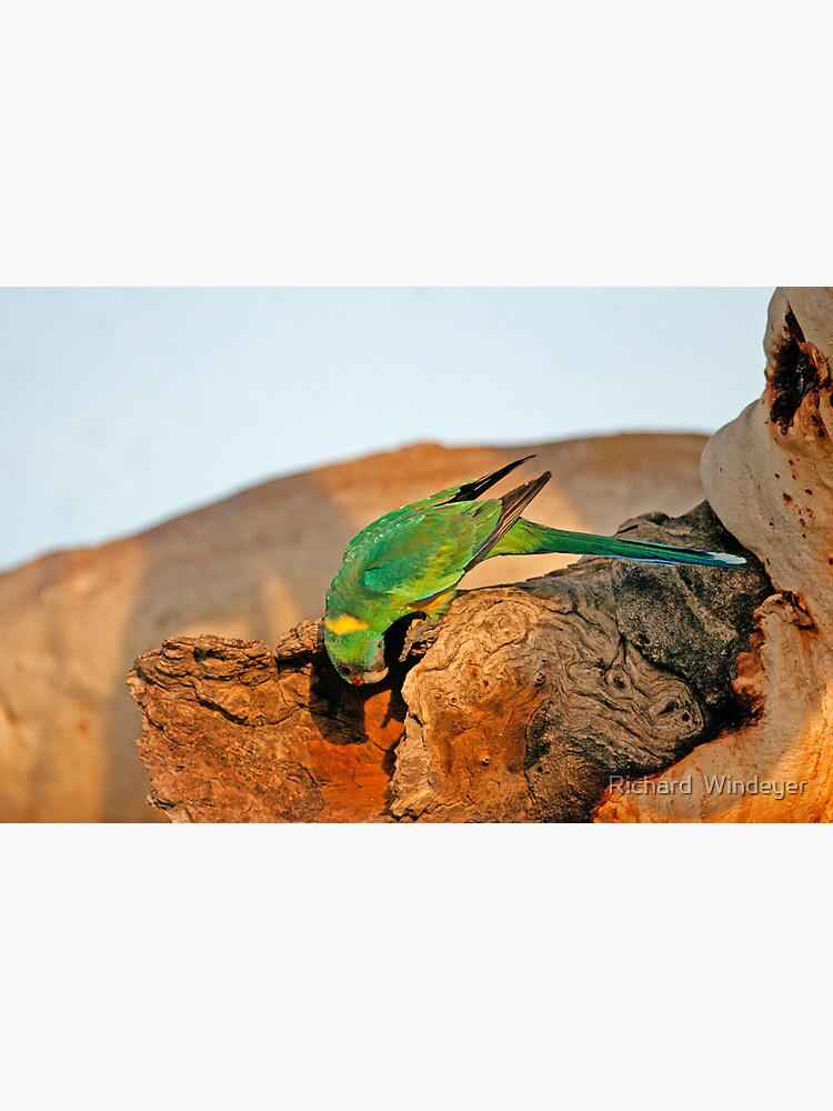 Port Lincoln Parrot by RICHARDW