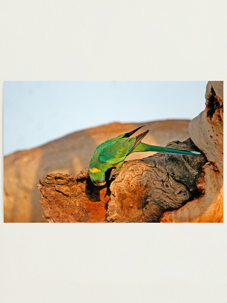 Alternate view of Port Lincoln Parrot Photographic Print