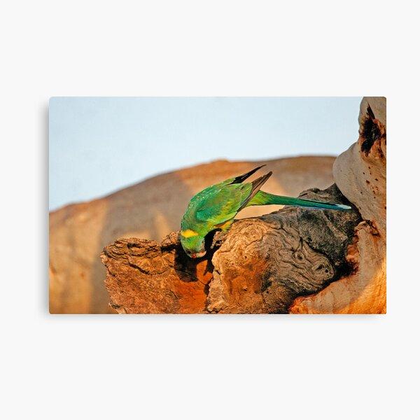Port Lincoln Parrot Canvas Print