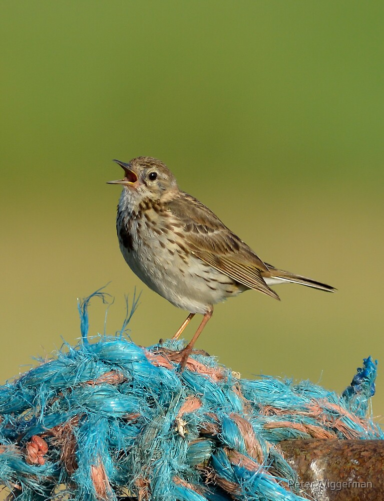 Juvenile Meadow pipit singing by Peter Wiggerman