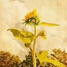 sunflower by janetlee