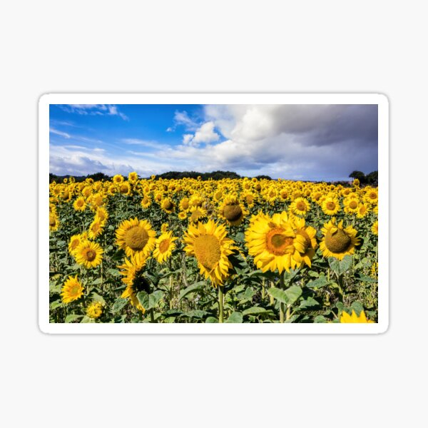Field Of Sunflowers With A Blue Sky And Clouds Sticker