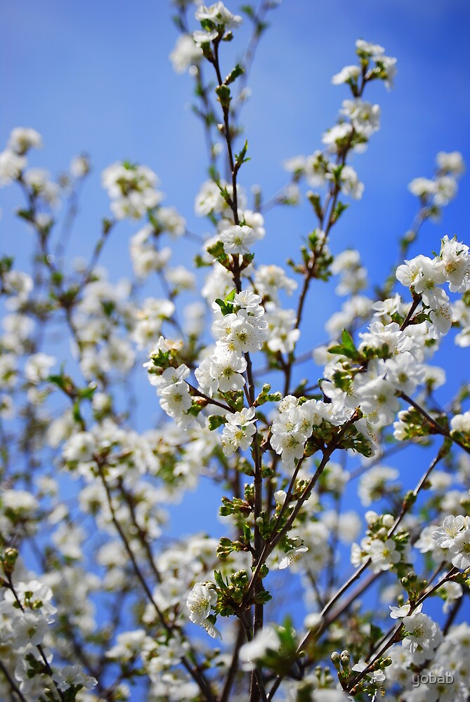 White Cherry Blossom by yobab