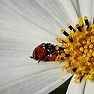 Ladybirds on a Daisy by Jenelle  Irvine
