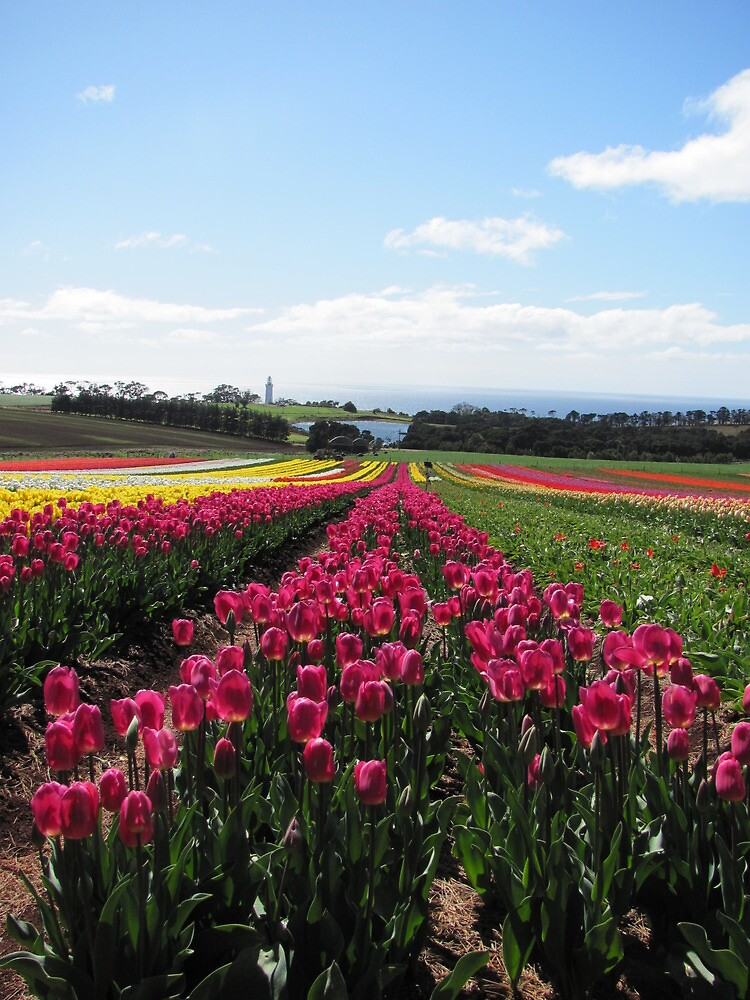 Table Cape Tulips by Throughmyeyes13