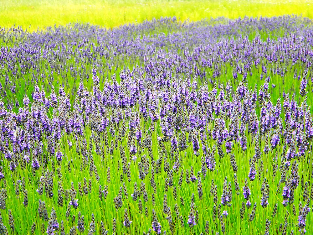 Lavender Field 1 by kchase
