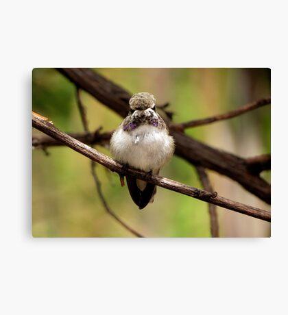 Costa's Hummingbird~ Juvenile Canvas Print