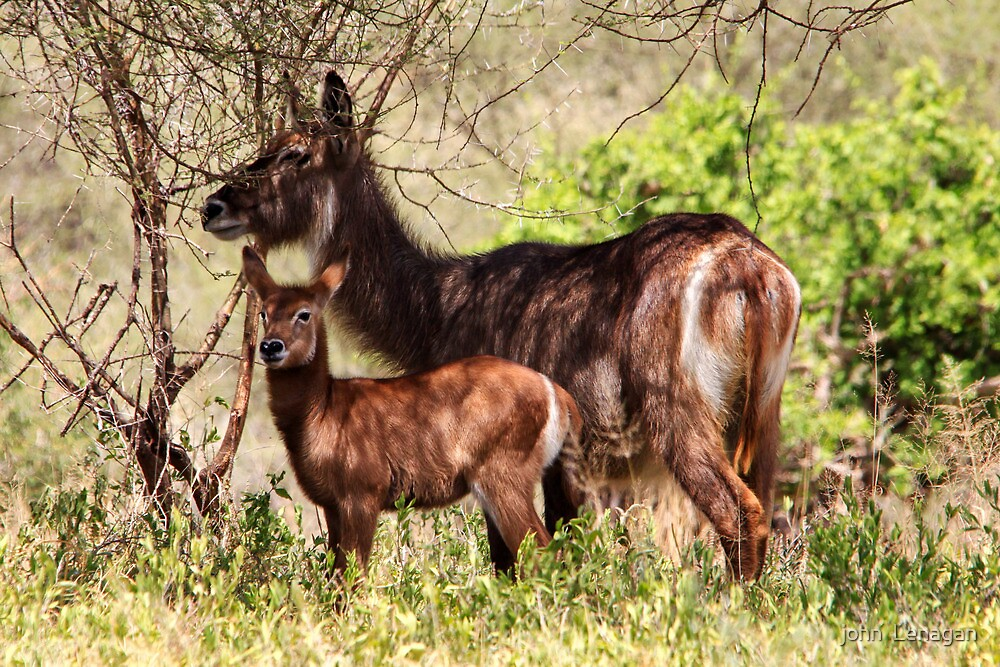 Ellipsen Water Bucks -  calf and mother  ( Kobus ellipsiprymnus   )Terengeri NP Tanzania by john  Lenagan