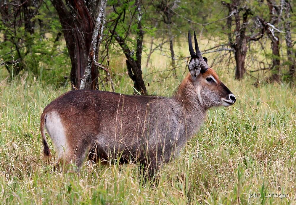 Male  Defassa Water Buck  - ( Kobus defassa )  Central  Serengeti Tanzania by john  Lenagan