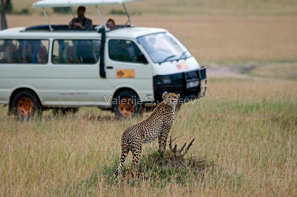 Cheetah disturbed by tourists by Valerija S.  Vlasov