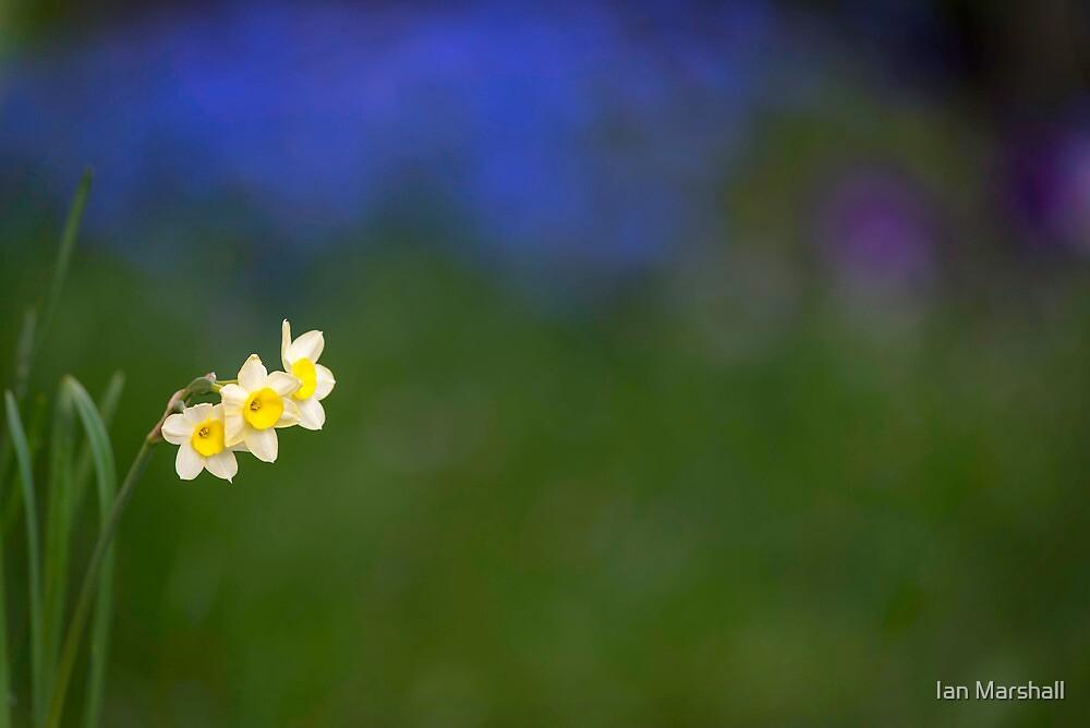 Spring Daffodil by Ian Marshall